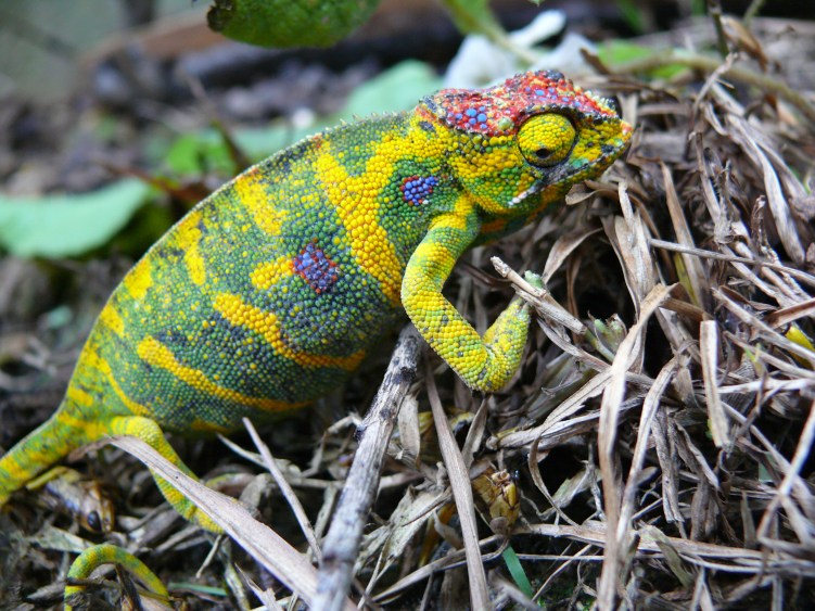 4-colorful-chameleon-fucifer-minor