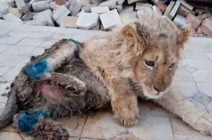 Rescuers Save Baby Lion Who Had His Legs Broken Karen Dallakyan, a vet in Russia
