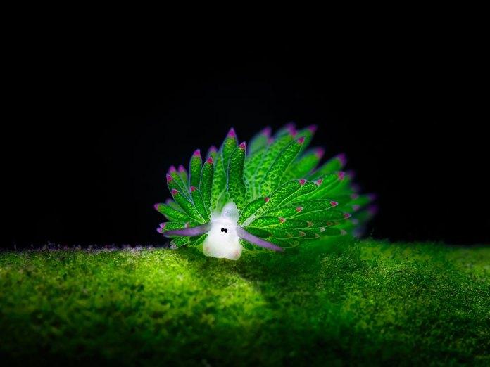 Sea Slug Eats So Much Algae It Can Photosynthesize