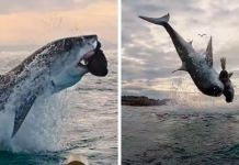 Great White Shark Jumps 15 Feet Through The Air As The Highest Ever Water Breach Is Recorded In South Africa