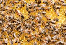 Molecule In Honeybee Venom Destroys Breast Cancer Cells In Lab