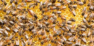 Molecule In Honeybee Venom Destroys Breast Cancer Cells In Lab