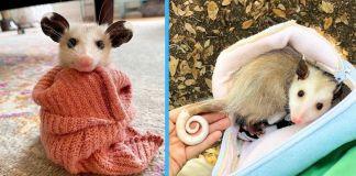 Adorable Opossums Photos Cute Rescue animals