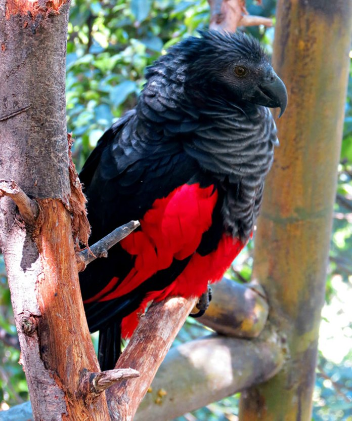 Dracula Parrot can only be found in New Guinea