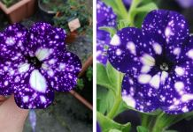 """These """"Galaxy"""" Flowers Hold Entire Universes On Their Petals"""