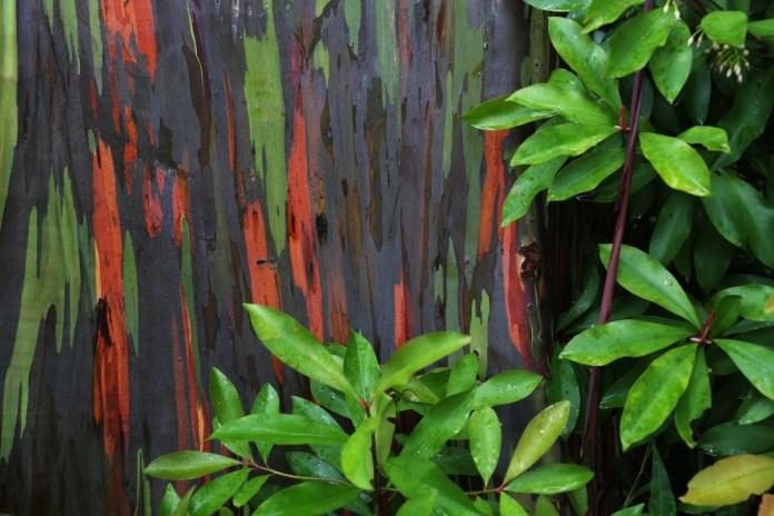 Rainbow Eucalyptus: The Most Beautiful Tree in The World