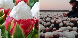 Mesmerizing Ice Cream Tulips Are A Thing And They're Making People Hungry