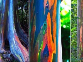 Rainbow Eucalyptus: The Most Beautiful Tree in The World