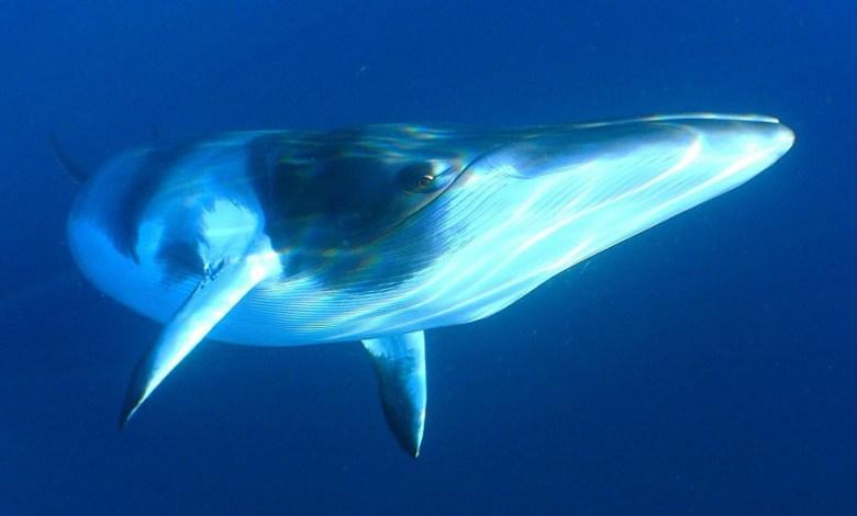 صوت الحوت الأزرق على شواطئ مصر وليبيا