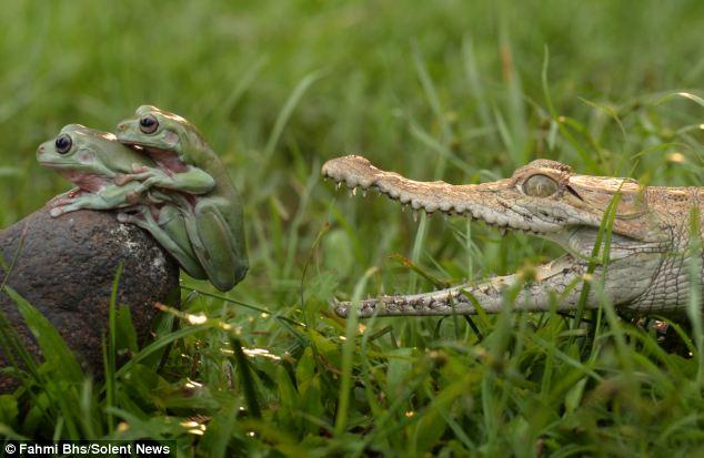 Krokodil bek open achter kikkers