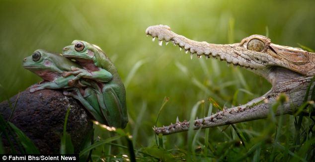 krokodil met mond open om kikkers op te eten