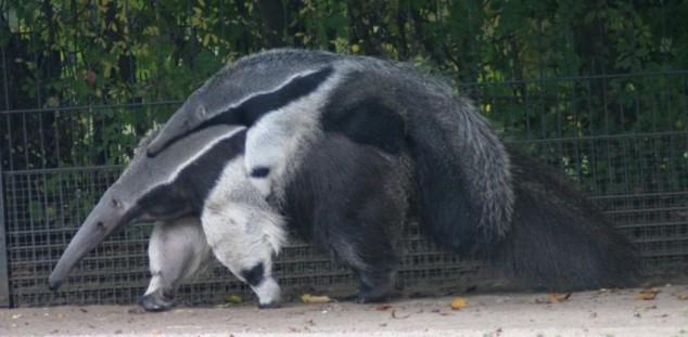panda poot van reuzenmiereneter