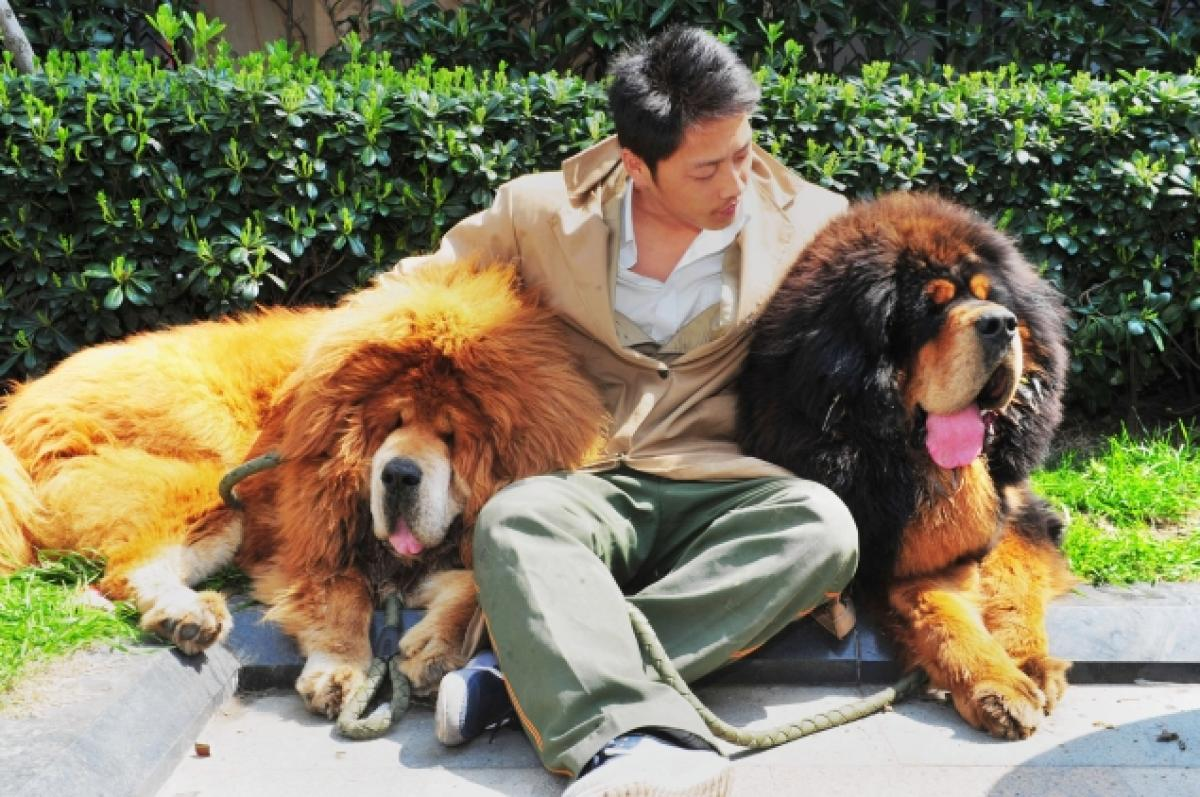 Peperdure Tibetan mastiffs