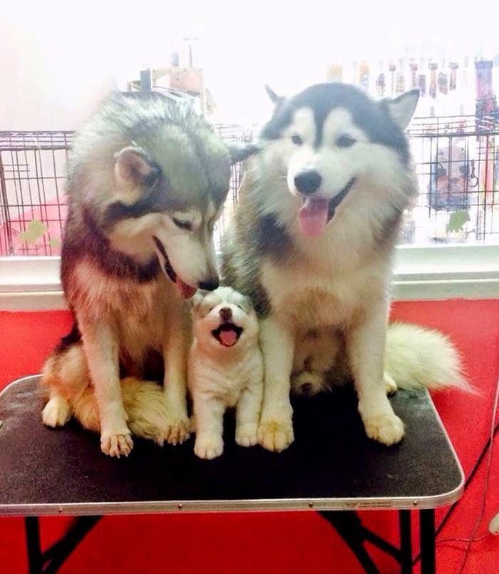 Husky familie