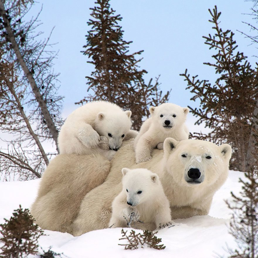 Ijsberen familie