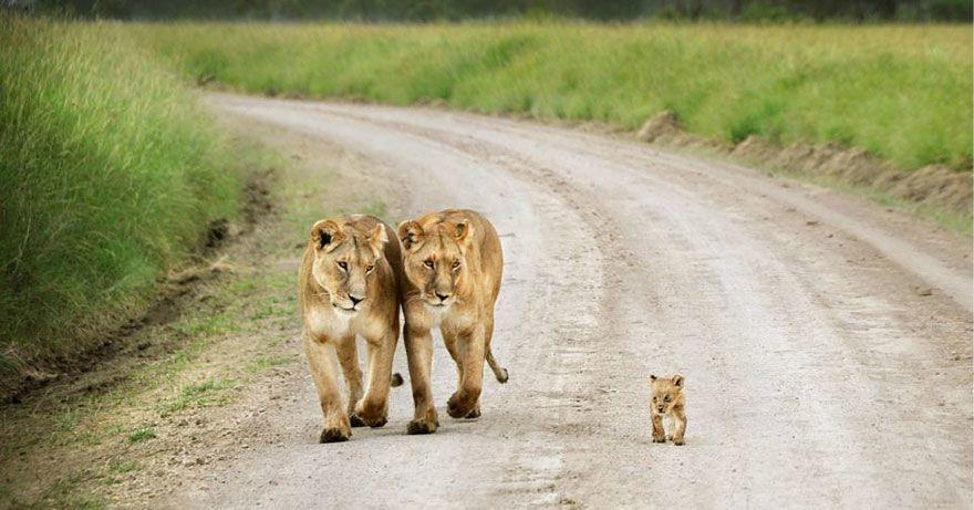 Leeuwinnen met welp
