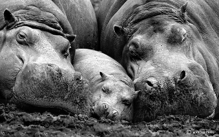 Nijlpaarden samen