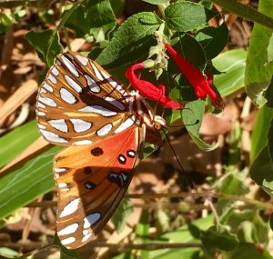 butterfly on pineapple sage blossom