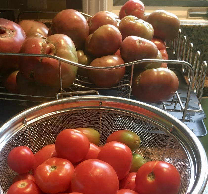 Washed tomatoes drying on racks.