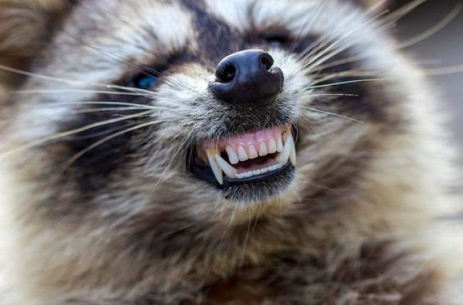 Zombie Raccoons Could Be Headed Our Way! (Slowly)