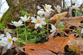 A small colony of bloodroot flowers in the rain