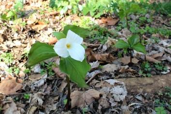 white trillium on the forest floor