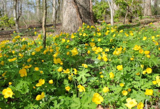 A profusion of wood poppies