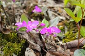 Gaywings is sometimes called flowering wintergreen