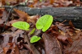 New leaves of heartleaf