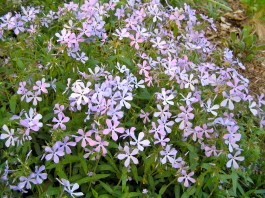 blue phlox drift