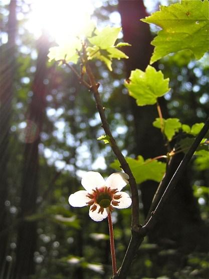 pipissewa in flower