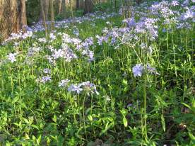 a drift of phlox