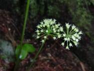 Sasparilla flowers