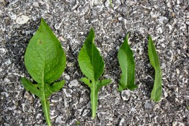 the leaves of knapweed