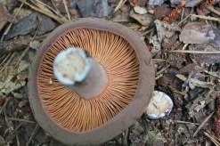 Lactarius carugus; corrugated milky cap