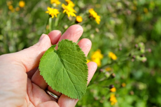 Heart-shaped leaves ofGolden Ragwort, Senecio aureus