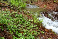 Wood anemone covering a stream bank