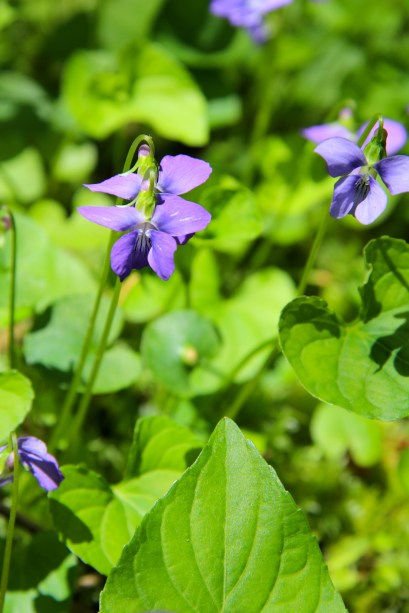 Marsh Blue Violets: color gets darker toward the center and lower petal is veined.