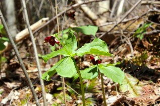 Red trillium at Bottom Creek Nature Conservancy in April 2015