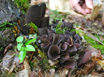 Wynnea americana, moose ears