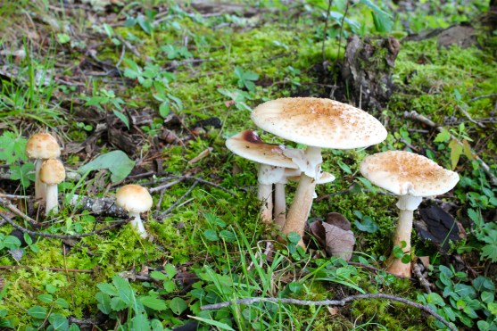 Amanita rubescens: the blusher