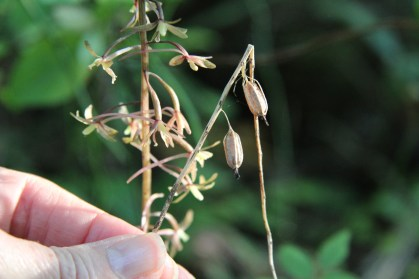 Seedpods ofCranefly Orchid