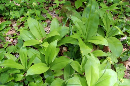 Speckled Wood Lily (White Clintonia)