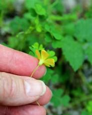 Yellow Wood Sorrel: funnel-shaped yellow flower