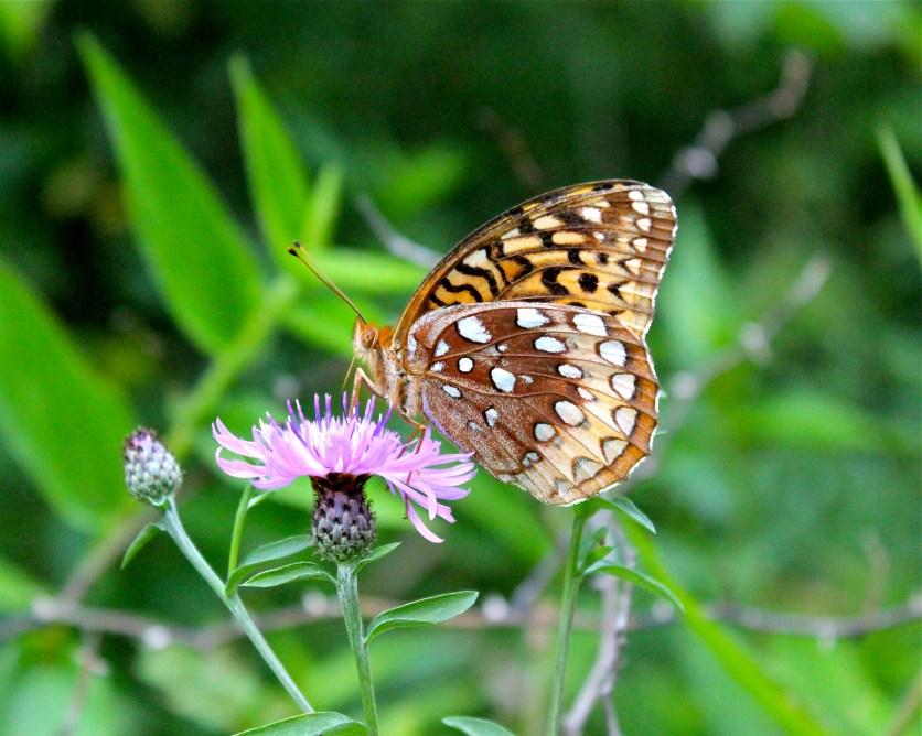 A great spangled frittilary on knapweed