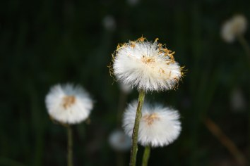 Coltsfoot going to seed
