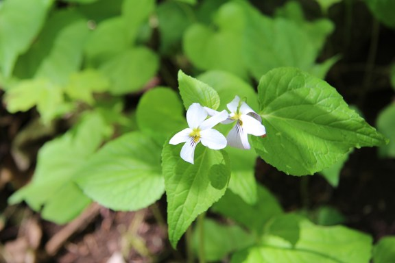 Canada Violet is also called White Violet or Tall White Violet