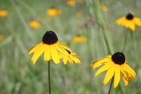 Common names include coneflower, oraange coneflower and black-eyed susan
