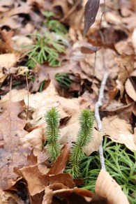 Shining Clubmoss