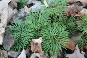 The flattened leaves of Groudcedar